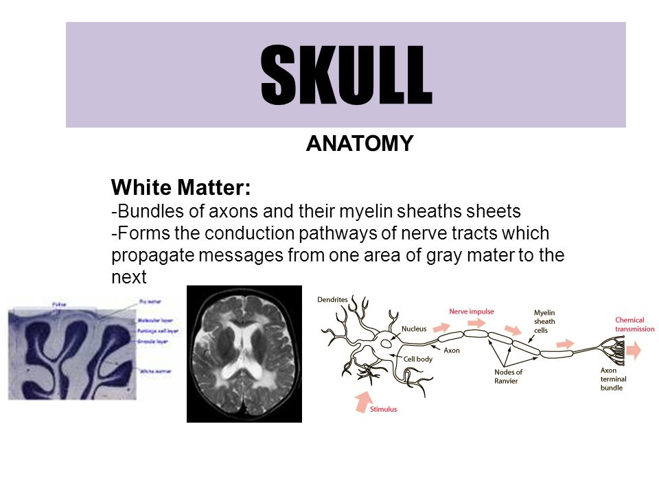 SKULL ANATOMY White Matter: