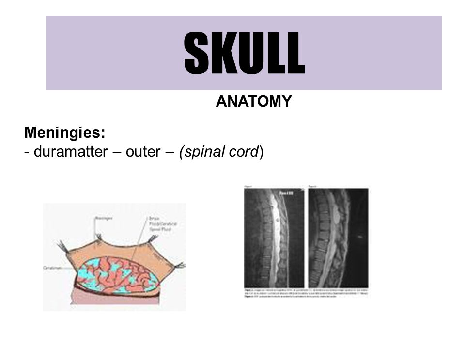 SKULL ANATOMY Meningies: duramatter – outer – (spinal cord)