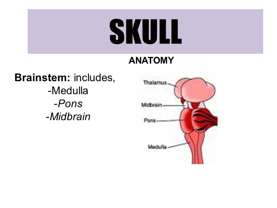 SKULL ANATOMY Brainstem: includes, Medulla Pons Midbrain