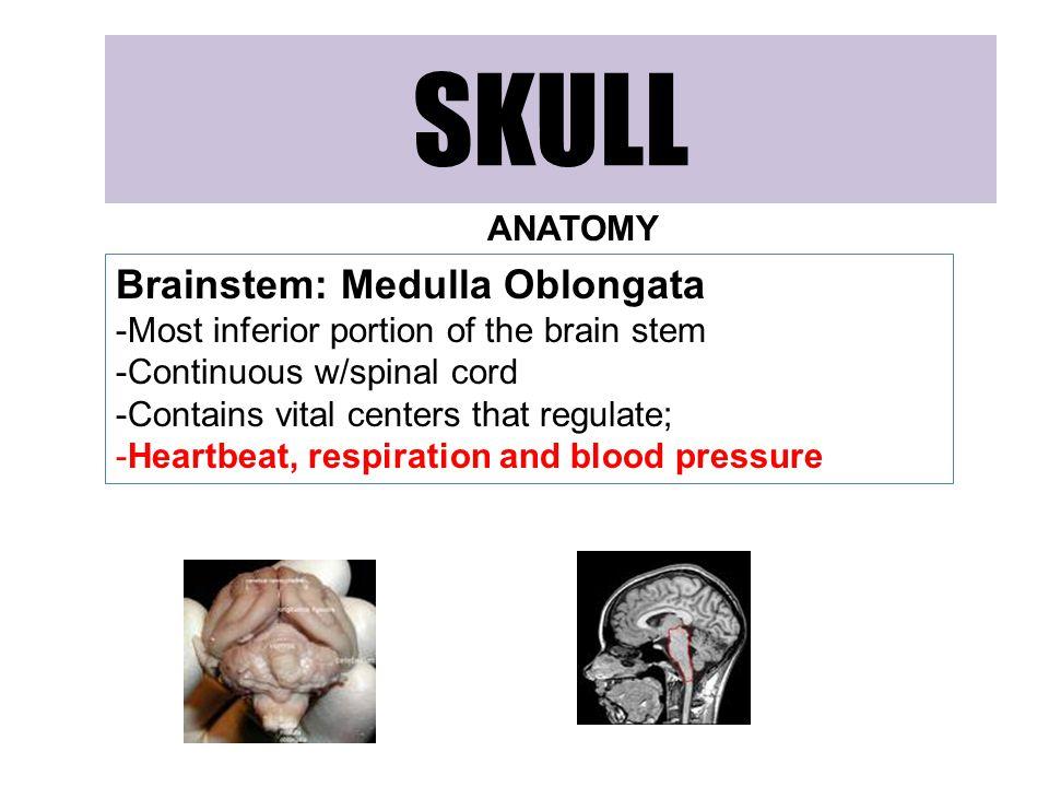 SKULL Brainstem: Medulla Oblongata ANATOMY