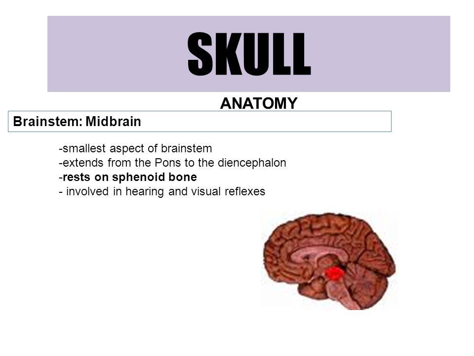 SKULL ANATOMY Brainstem: Midbrain -smallest aspect of brainstem