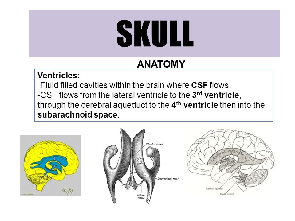 SKULL ANATOMY Ventricles: