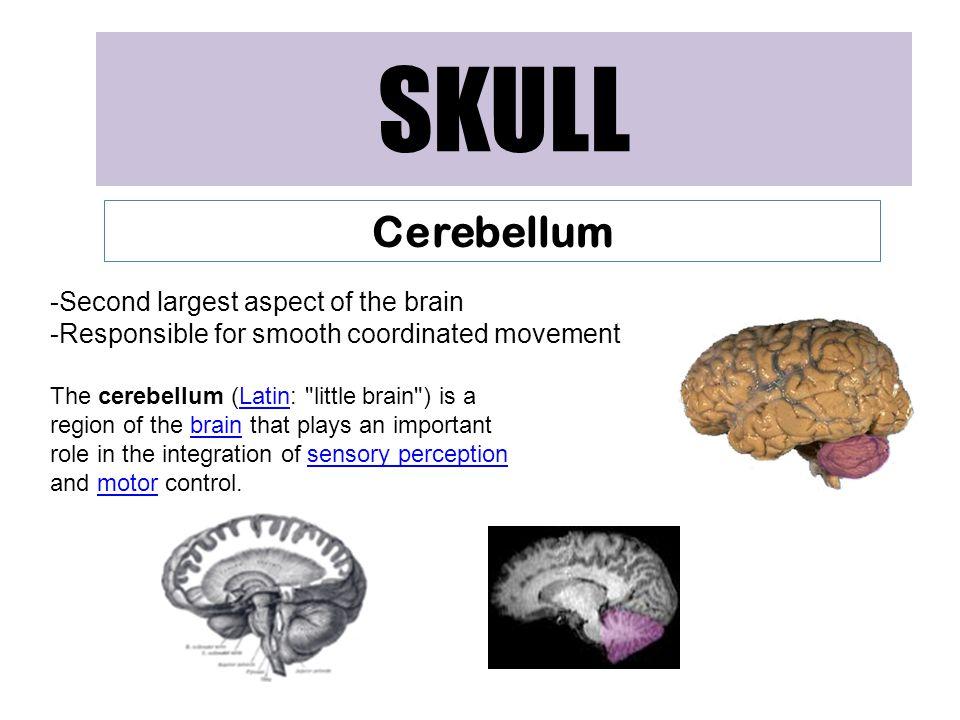 SKULL Cerebellum Second largest aspect of the brain