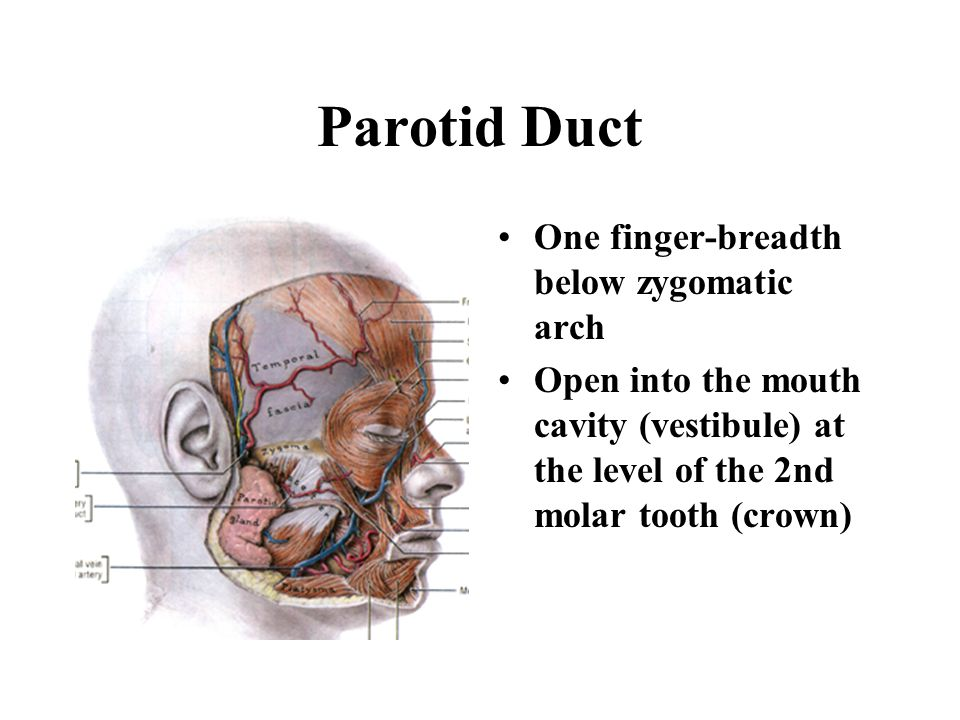 Parotid Duct One finger-breadth below zygomatic arch