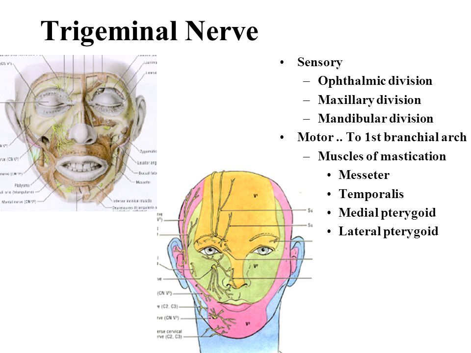 Trigeminal Nerve Sensory Ophthalmic division Maxillary division