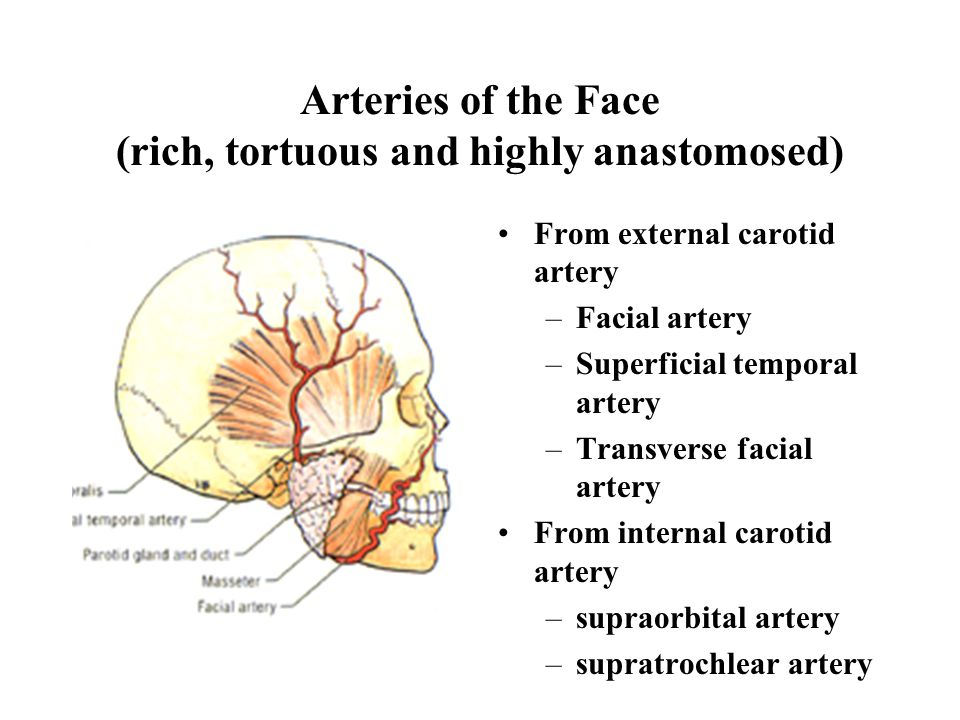Arteries of the Face (rich, tortuous and highly anastomosed)