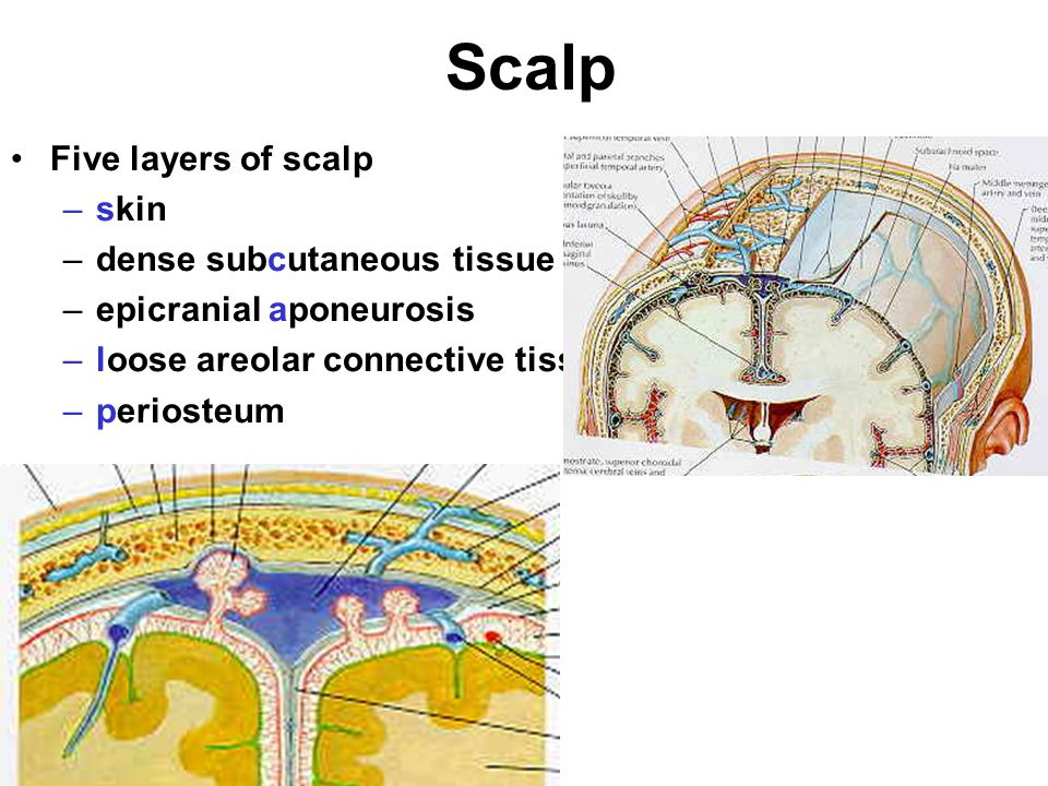 Scalp Five layers of scalp skin dense subcutaneous tissue
