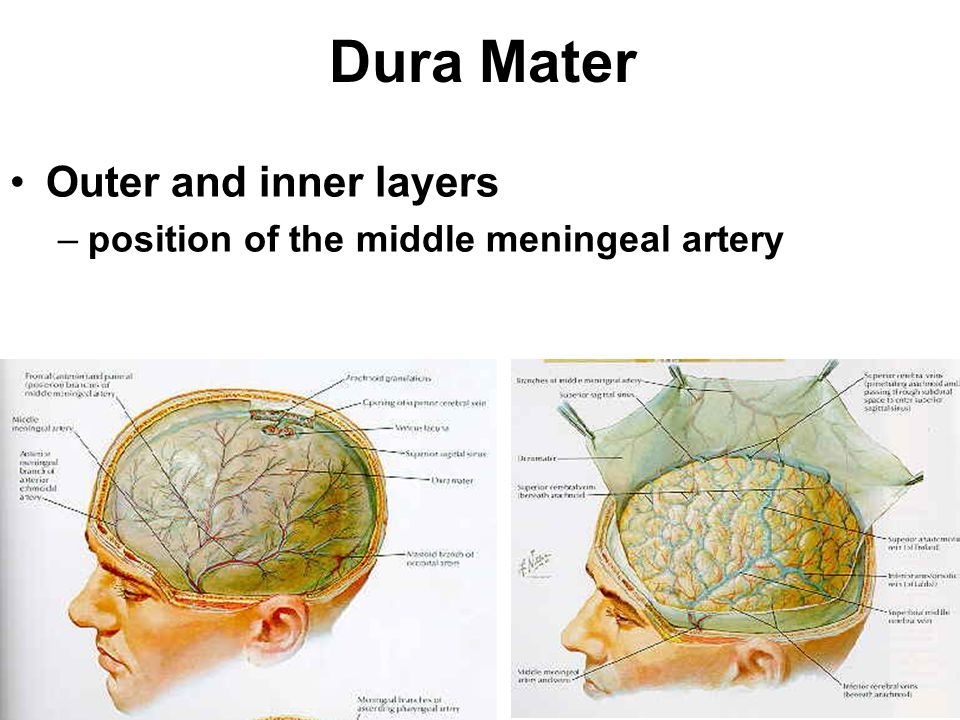 Dura Mater Outer and inner layers
