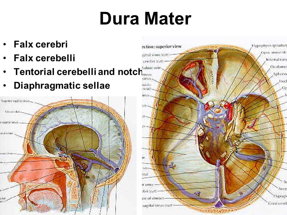 Dura Mater Falx cerebri Falx cerebelli Tentorial cerebelli and notch