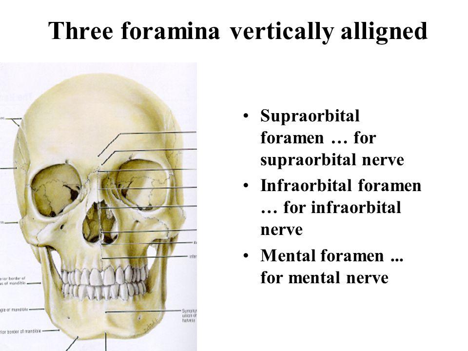 Three foramina vertically alligned