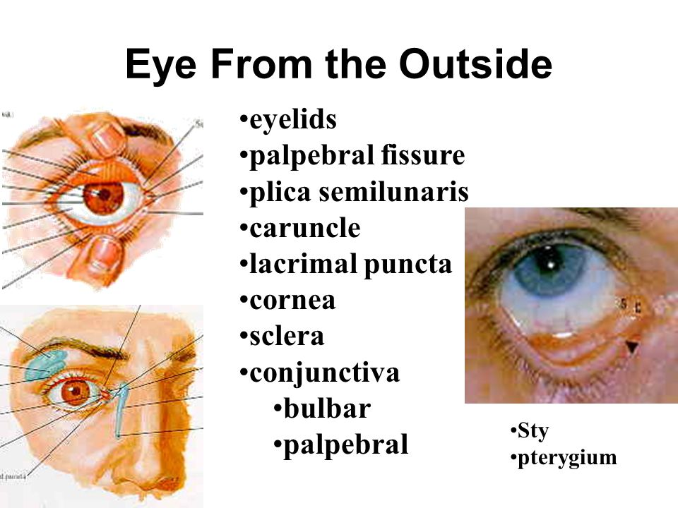 Eye From the Outside eyelids palpebral fissure plica semilunaris