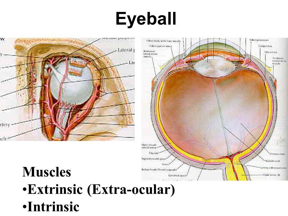 Eyeball Muscles Extrinsic (Extra-ocular) Intrinsic