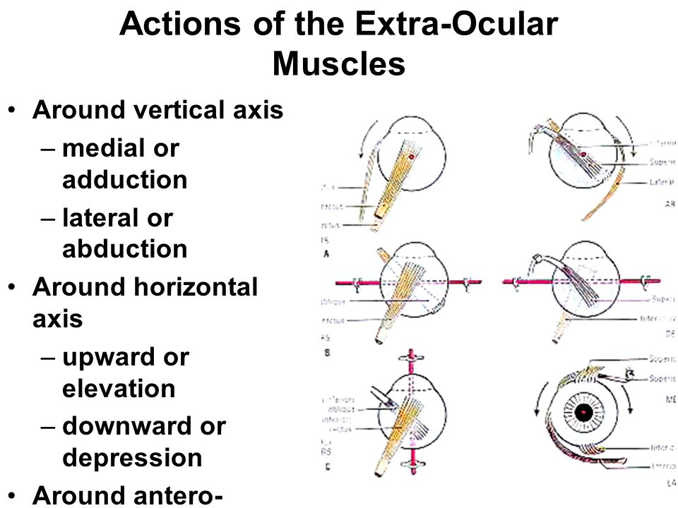 Actions of the Extra-Ocular Muscles