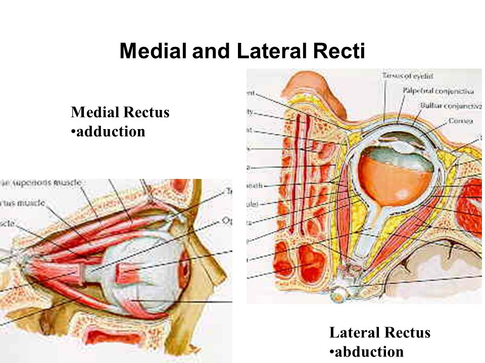 Medial and Lateral Recti