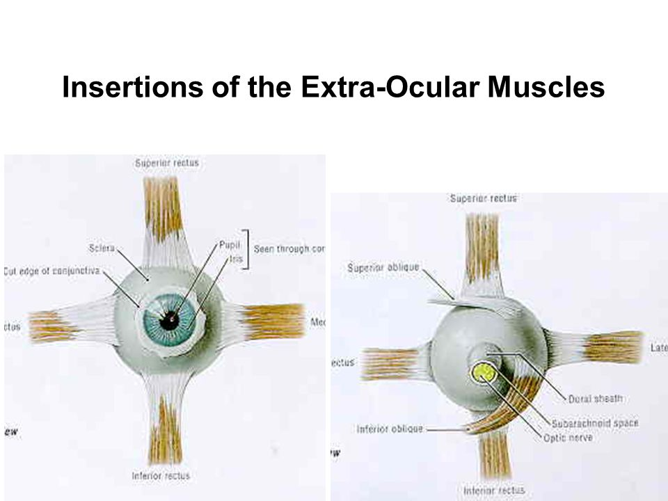 Insertions of the Extra-Ocular Muscles