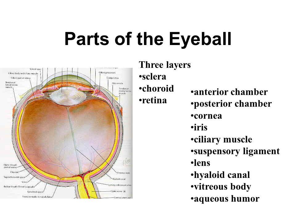 Parts of the Eyeball Three layers sclera choroid retina
