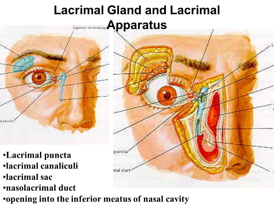 Lacrimal Gland and Lacrimal Apparatus