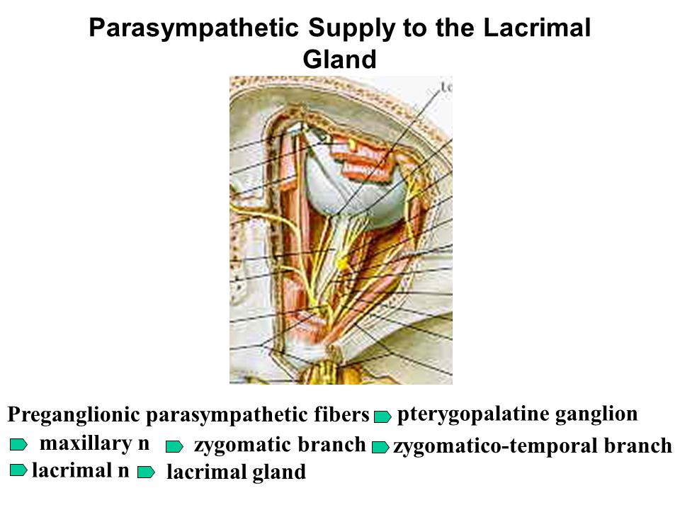 Parasympathetic Supply to the Lacrimal Gland