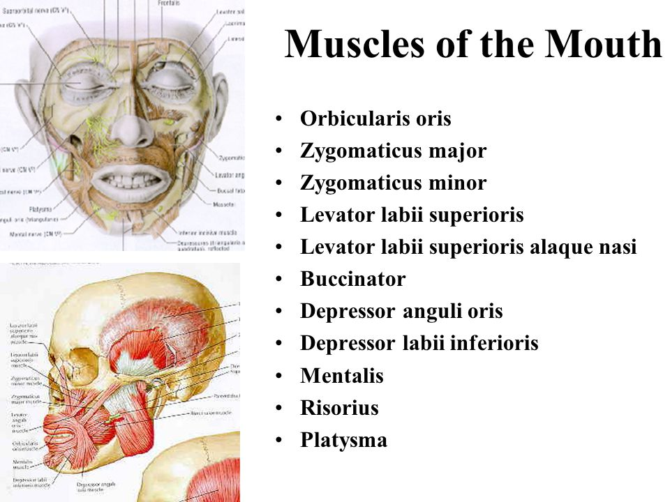 Muscles of the Mouth Orbicularis oris Zygomaticus major