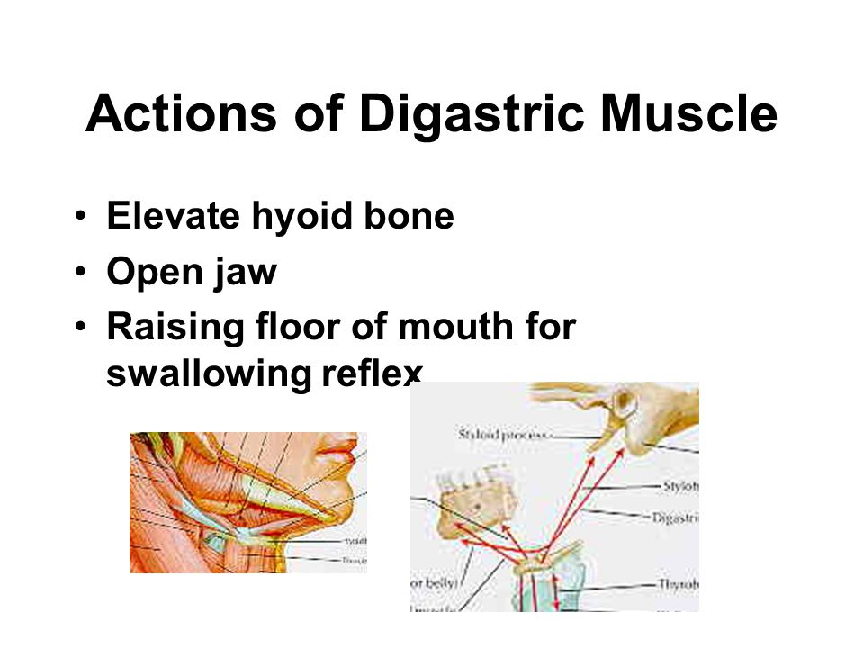 Actions of Digastric Muscle