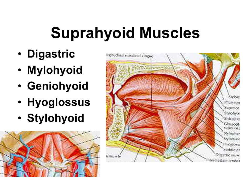 Suprahyoid Muscles Digastric Mylohyoid Geniohyoid Hyoglossus