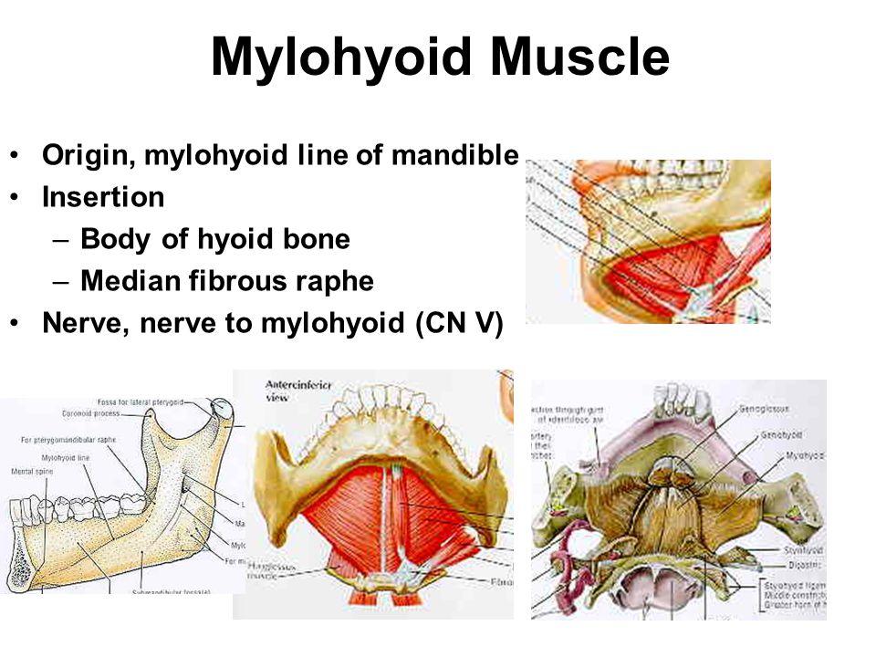 Mylohyoid Muscle Origin, mylohyoid line of mandible Insertion