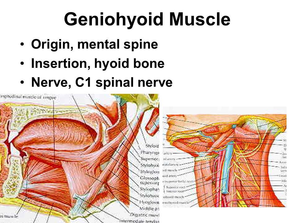 Geniohyoid Muscle Origin, mental spine Insertion, hyoid bone