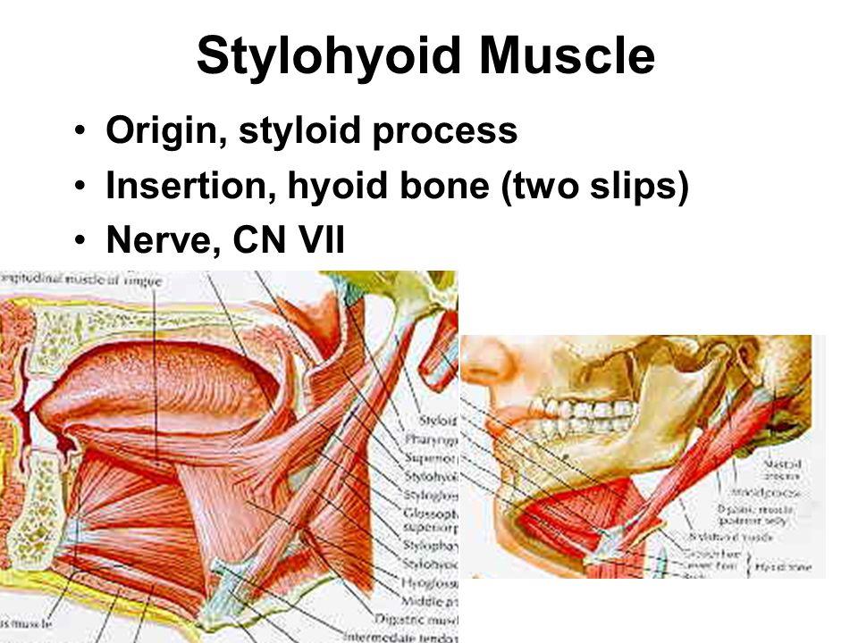 Stylohyoid Muscle Origin, styloid process