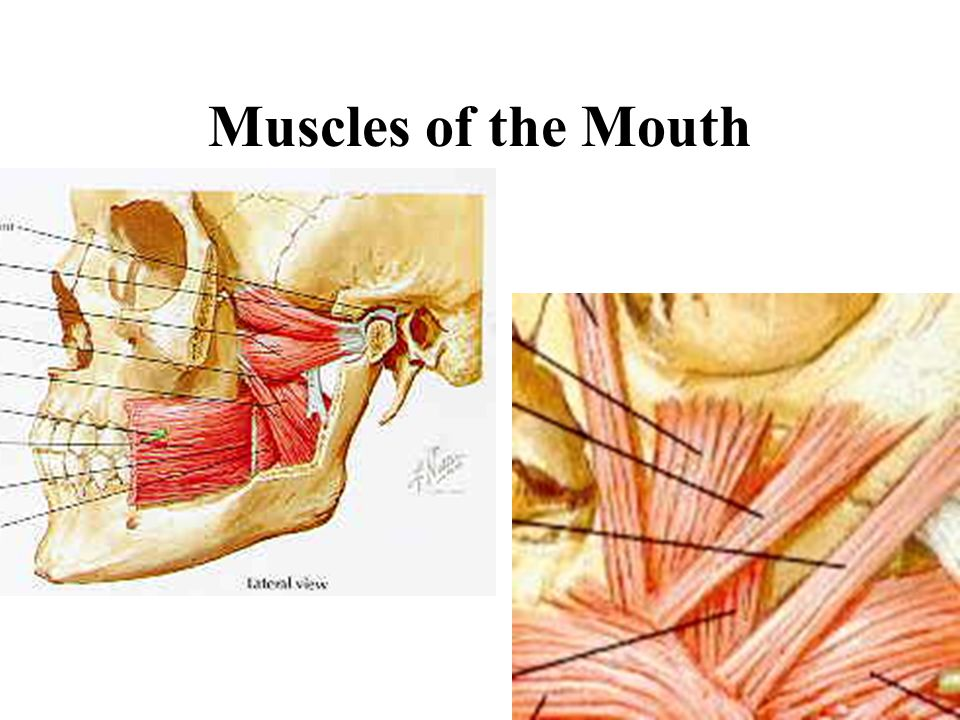 Muscles of the Mouth