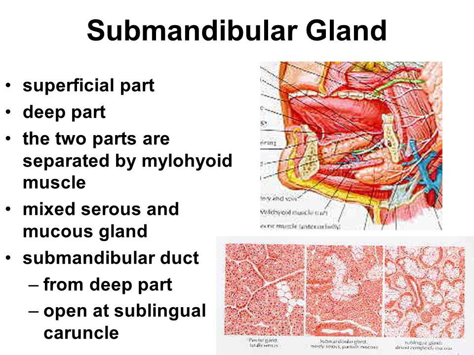 Submandibular Gland superficial part deep part