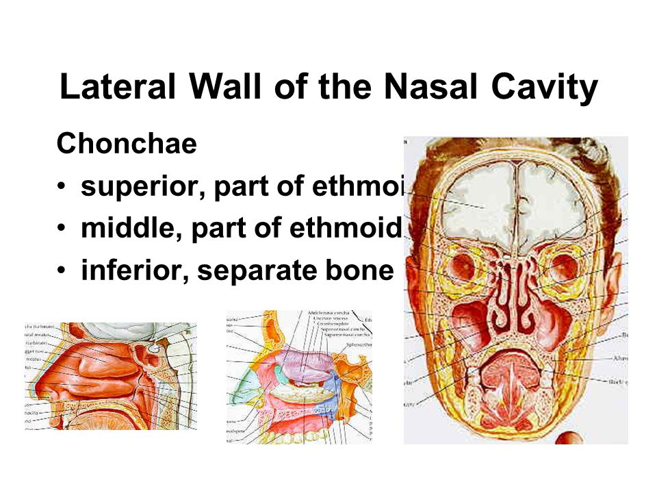 Lateral Wall of the Nasal Cavity