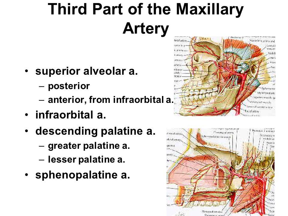 Third Part of the Maxillary Artery