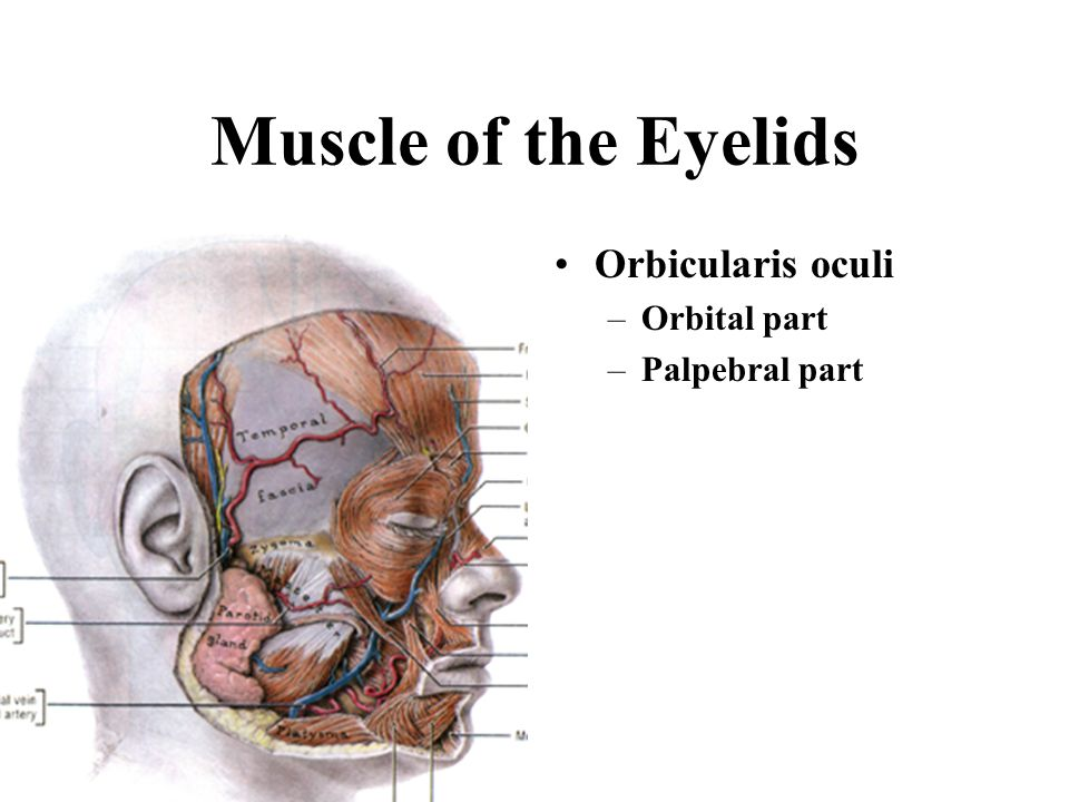 Muscle of the Eyelids Orbicularis oculi Orbital part Palpebral part