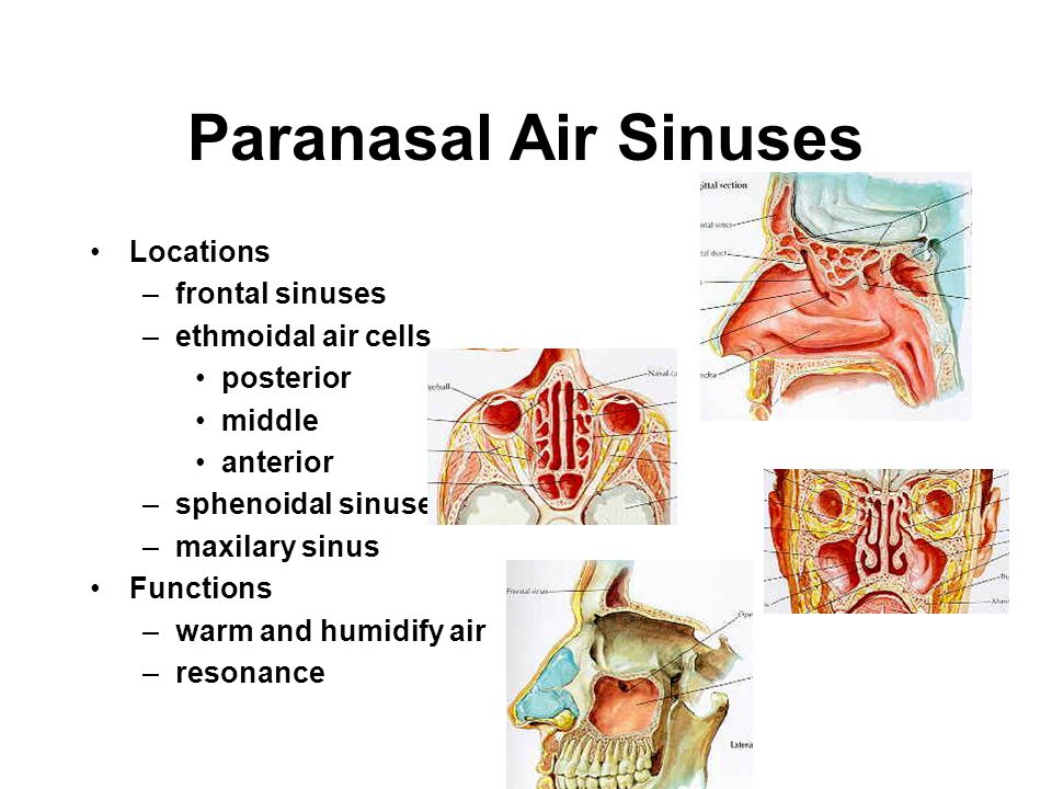 Paranasal Air Sinuses Locations frontal sinuses ethmoidal air cells
