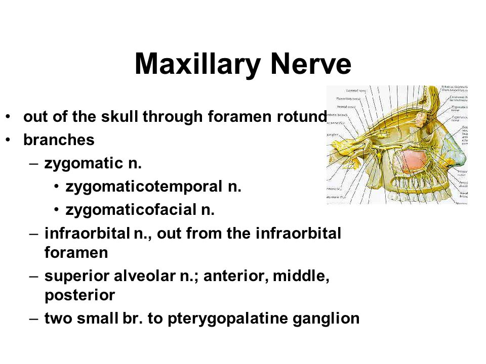 Maxillary Nerve out of the skull through foramen rotundum branches