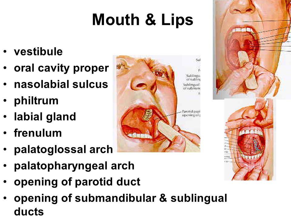 Mouth & Lips vestibule oral cavity proper nasolabial sulcus philtrum