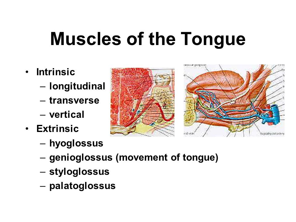 Muscles of the Tongue Intrinsic longitudinal transverse vertical