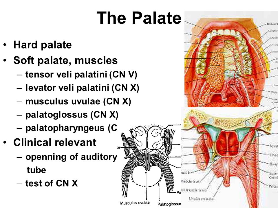 The Palate Hard palate Soft palate, muscles Clinical relevant