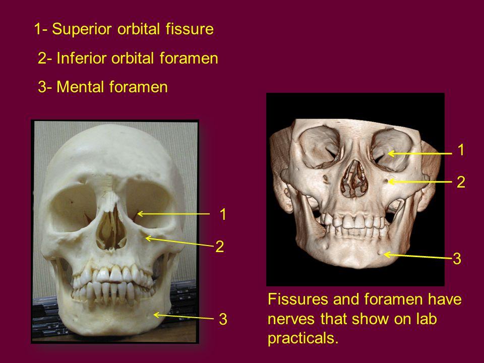 1- Superior orbital fissure 2- Inferior orbital foramen