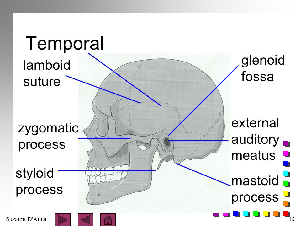 Temporal glenoid lamboid fossa suture external zygomatic auditory