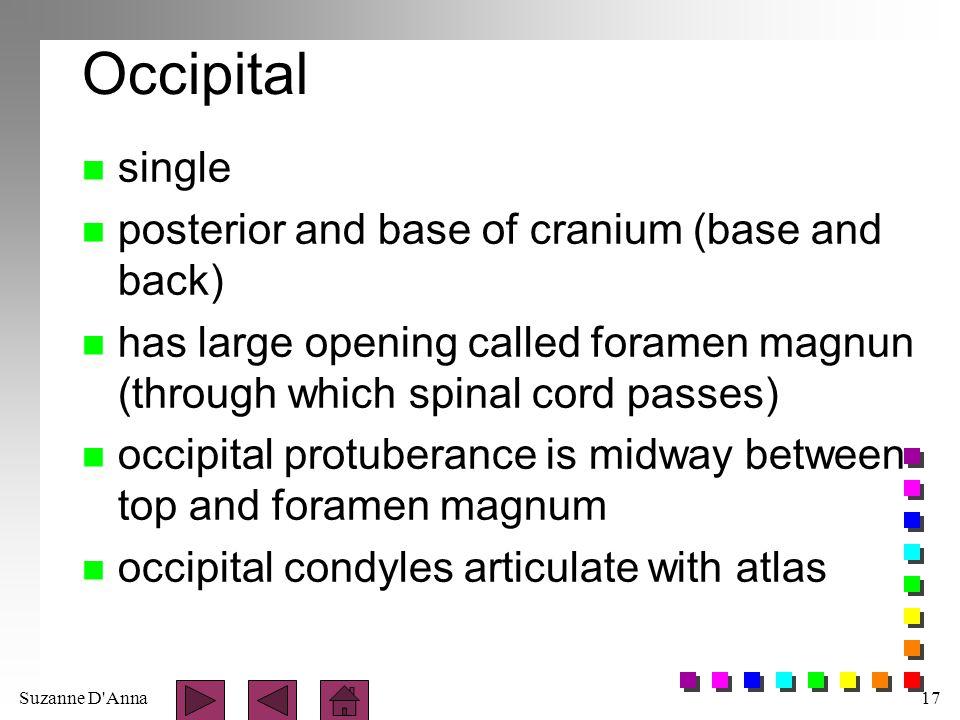 Occipital single posterior and base of cranium (base and back)