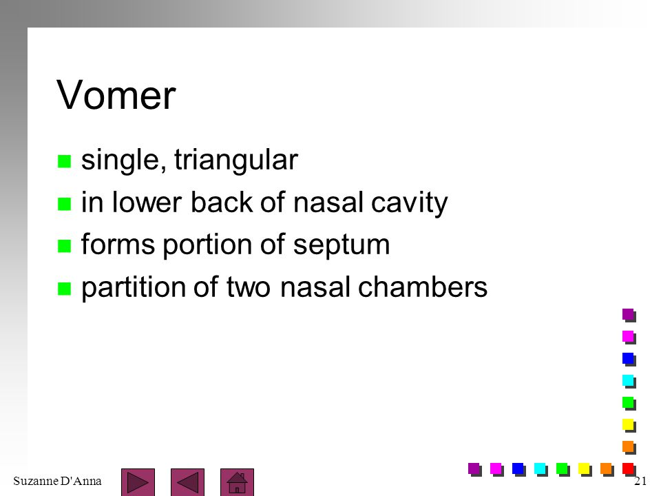 Vomer single, triangular in lower back of nasal cavity