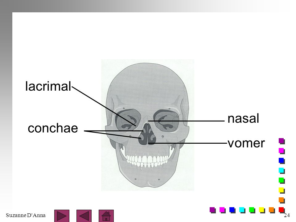 lacrimal nasal conchae vomer