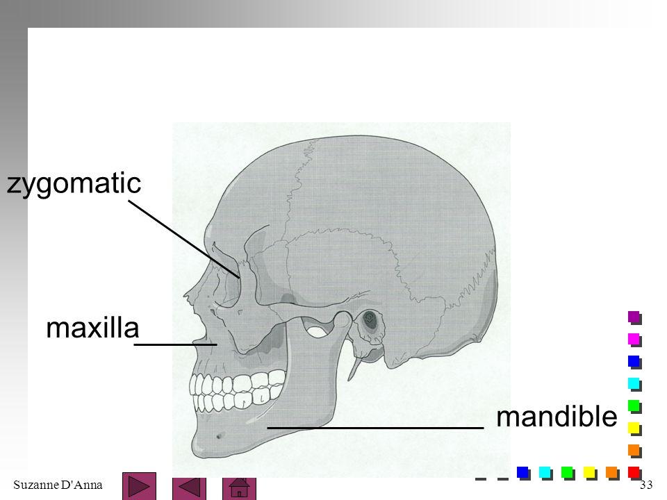 zygomatic maxilla mandible