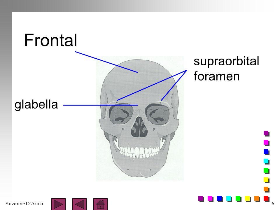 Frontal supraorbital foramen glabella