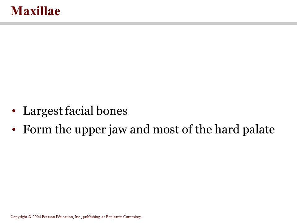 Maxillae Largest facial bones