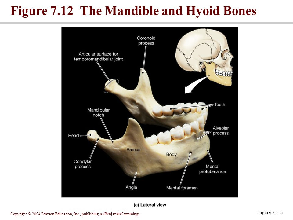 Figure 7.12 The Mandible and Hyoid Bones