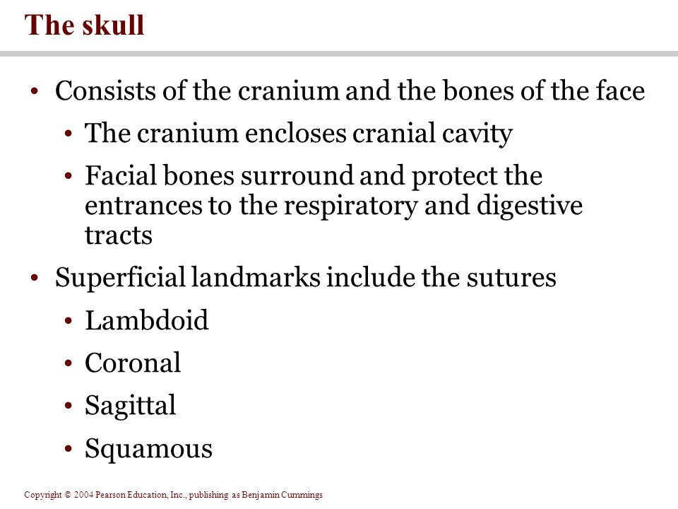 The skull Consists of the cranium and the bones of the face