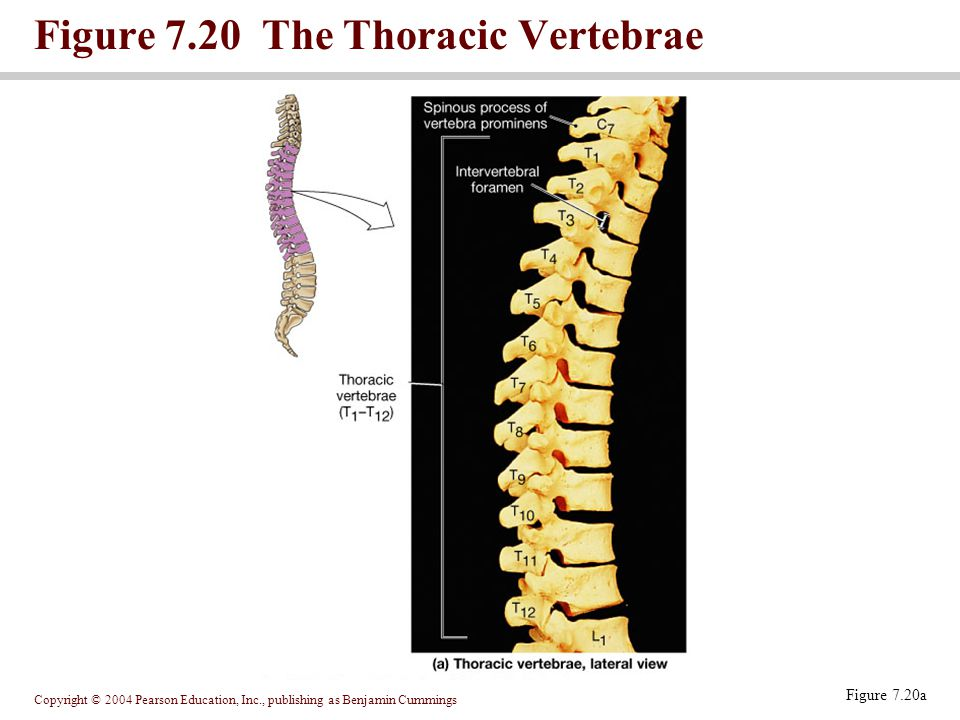 Figure 7.20 The Thoracic Vertebrae