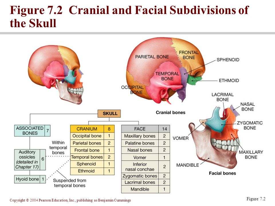 Figure 7.2 Cranial and Facial Subdivisions of the Skull